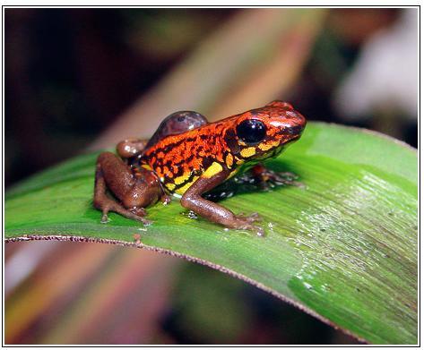 National Geographic News:  エクアドールで発見されたこのカラフルなカエル、背中におたまじゃくしを背負っているのが見えますか?これが、このカエルの持つ奇妙な習性。卵から孵化したおたまじゃくしは、親ガエルによって、水辺まで運ばれる。