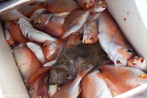 水揚げされたばかりの鯛