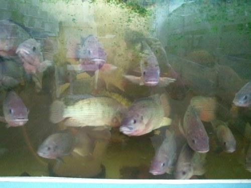 水槽には、魚、さかな、サカナ